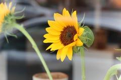 Girasol amarillo vibrante Foto de archivo libre de regalías