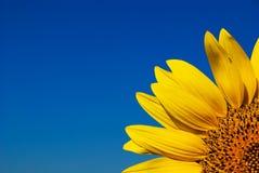 Girasol amarillo y cielo azul brillante Fotografía de archivo libre de regalías