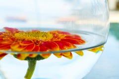 Girasol anaranjado en una taza de cristal con agua Fotos de archivo