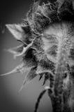 Girasol blanco y negro Fotos de archivo
