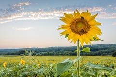 Girasol brillante grande en campo en la puesta del sol Fotografía de archivo