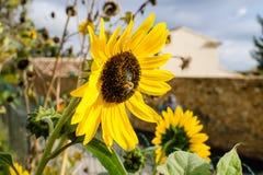 Girasol brillante hermoso magnífico en el sol del verano Fotografía de archivo libre de regalías