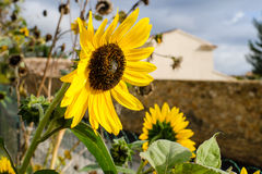 Girasol brillante hermoso magnífico en el sol del verano Imagenes de archivo