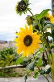 Girasol brillante hermoso magnífico en el sol del verano Foto de archivo libre de regalías