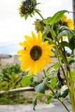Girasol brillante hermoso magnífico en el sol del verano Imagen de archivo