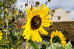 Girasol brillante hermoso magnífico en el sol del verano Fotos de archivo libres de regalías