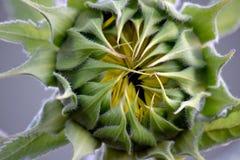 Girasol Bud Green Bract Macro Fotografía de archivo libre de regalías