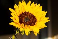 Girasol caliente que sube en la salida del sol imagen de archivo libre de regalías