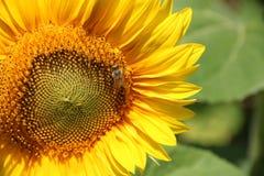 Girasol cercano para arriba con la abeja Fotos de archivo libres de regalías