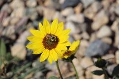 Girasol común y abeja salvaje Imágenes de archivo libres de regalías