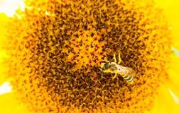 Girasol con cierre de la abeja de la miel para arriba Imagenes de archivo