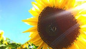 Girasol con cierre de la abeja para arriba Fotografía de archivo libre de regalías