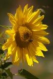 Girasol con el abejorro Fotos de archivo