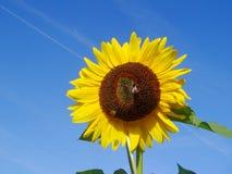Girasol con el abejorro Imagen de archivo libre de regalías