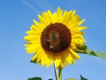 Girasol con el abejorro Fotografía de archivo