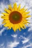 Girasol con el cielo azul Foto de archivo libre de regalías