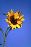 Girasol con el cielo azul Imagen de archivo libre de regalías