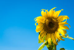 Girasol con el cielo azul Fotos de archivo libres de regalías