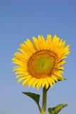 Girasol con el cielo azul Imagen de archivo