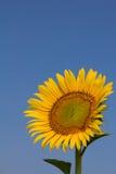 Girasol con el cielo azul Imagenes de archivo