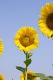 Girasol con el cielo azul Fotografía de archivo libre de regalías