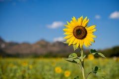 Girasol con el cielo azul y la montaña Fotografía de archivo libre de regalías