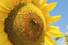 Girasol con la abeja. Imagen de archivo