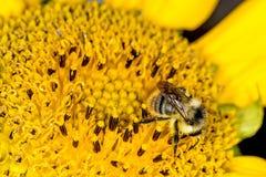 Girasol con la abeja Fotos de archivo