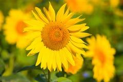 Girasol con la abeja Fotografía de archivo libre de regalías