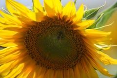Girasol con la abeja Imagen de archivo libre de regalías