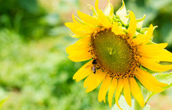 Girasol con la abeja Imágenes de archivo libres de regalías