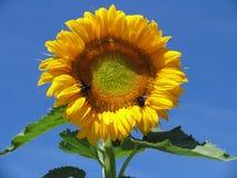Girasol con la abeja Foto de archivo libre de regalías