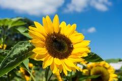 Girasol con la abeja con el cielo azul Imágenes de archivo libres de regalías