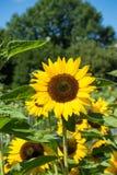 Girasol con la abeja con el cielo azul Fotografía de archivo libre de regalías