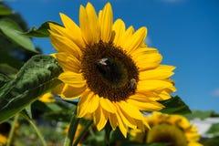 Girasol con la abeja con el cielo azul Foto de archivo