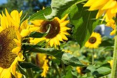 Girasol con la abeja con el cielo azul Fotos de archivo libres de regalías