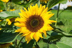 Girasol con la abeja con el cielo azul Foto de archivo libre de regalías