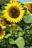 Girasol con la abeja con el cielo azul Imagen de archivo libre de regalías
