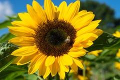 Girasol con la abeja con el cielo azul Fotografía de archivo