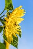 Girasol con la abeja de la miel Foto de archivo libre de regalías