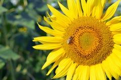 Girasol con la abeja de la miel Fotos de archivo