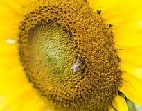 Girasol con la abeja de la miel Imagen de archivo libre de regalías