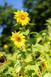 Girasol con la abeja con el fondo del cielo azul Imágenes de archivo libres de regalías