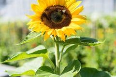 Girasol con la abeja con el fondo del cielo azul Imagenes de archivo