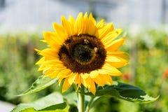 Girasol con la abeja con el fondo del cielo azul Fotos de archivo libres de regalías