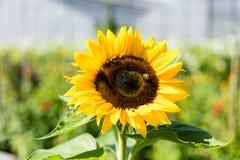 Girasol con la abeja con el fondo del cielo azul Fotografía de archivo