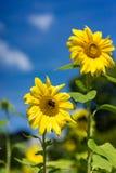 Girasol con la abeja con el fondo del cielo azul Imagen de archivo libre de regalías