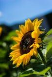 Girasol con la abeja con el fondo del cielo azul Imagen de archivo