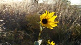 Girasol con la abeja en el borde del pedal Foto de archivo