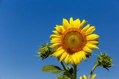 Girasol con la abeja con un contexto del cielo Imagenes de archivo